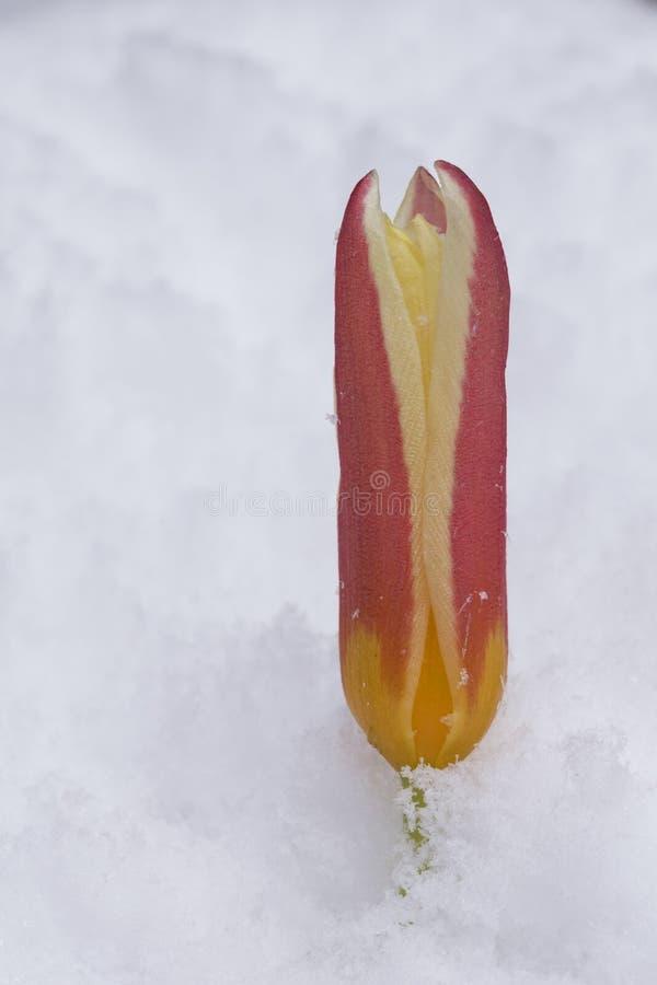 Eine Tulpe im Schnee stockfoto