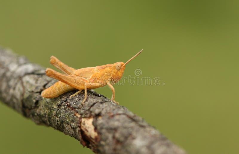 Eine ungewöhnliche farbige Heuschrecke, die auf einem Zweig hockt lizenzfreie stockfotos