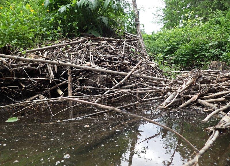 Eine Verdammung errichtet durch Biber und Biberschloss auf einem Fluss lizenzfreies stockbild