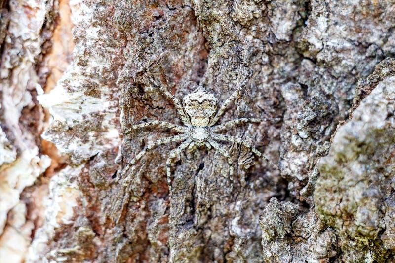 Eine verdeckte Spinne in den Nahaufnahmefellen wie einem Spion auf der Barke eines Baums stockfoto