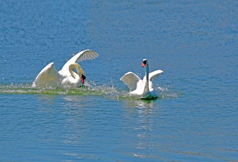 Eine Verfolgung auf dem Wasser Eine große und mannigfaltige Anzahl von Vögeln machen See Morton ein Haus stockbilder