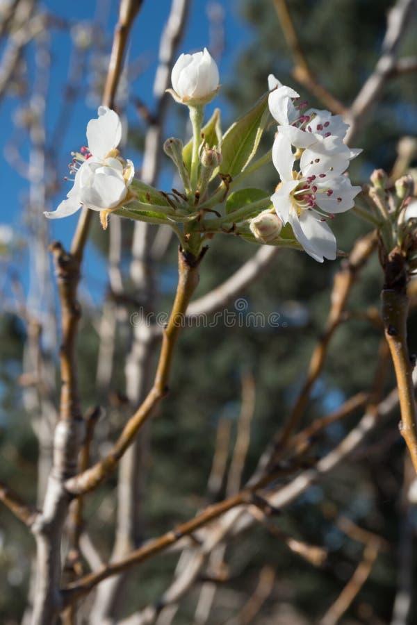 Eine Vertikale einer südwestlichen New Mexiko-Birnen-Baumblüte stockbilder