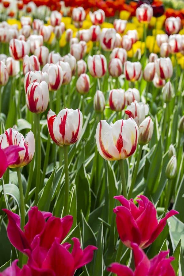 Eine Vielzahl von zwei Farbetulpen-Blumenroten weißen, Variationsgartentulpen auf einem Blumenbeet im Park, Vertikale Viele hell lizenzfreies stockbild