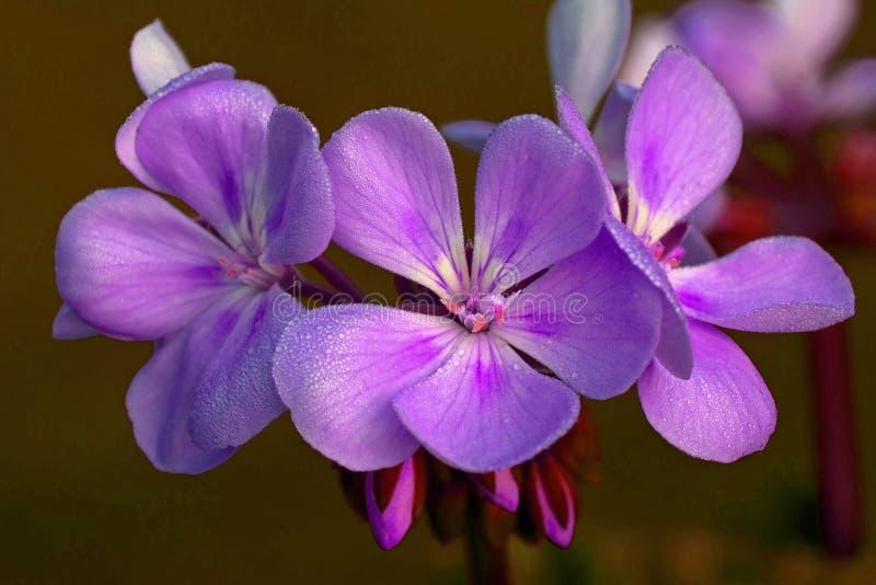 Eine violette Pelargonie mit Tau morgens stockbilder