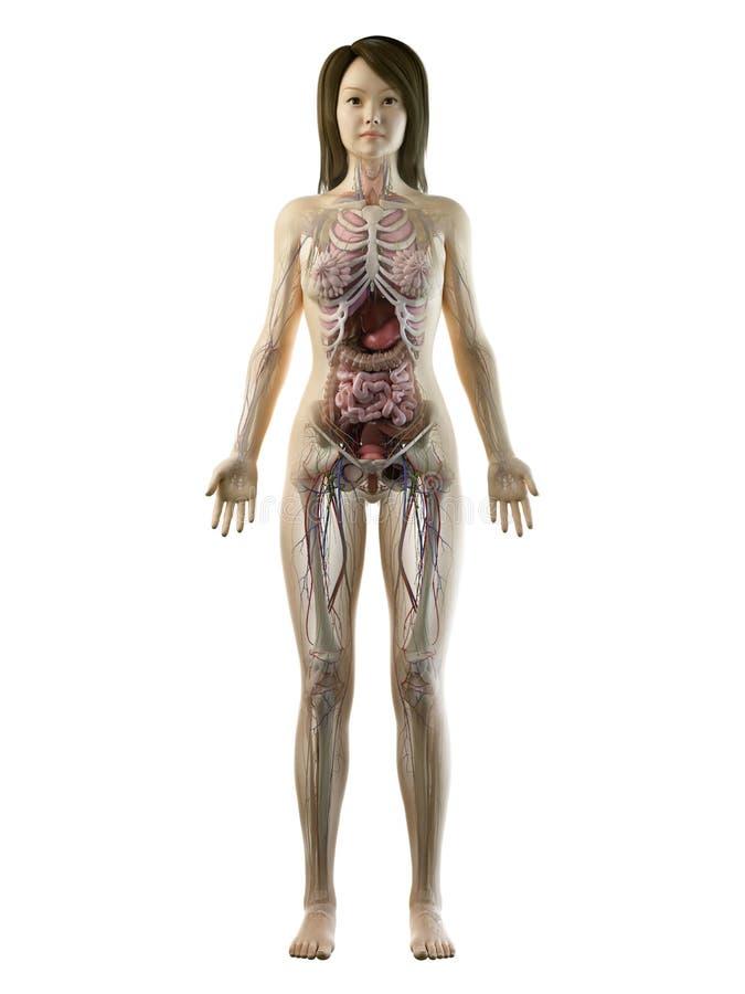 Eine volle Körperanatomie der asiatischen Frauen stock abbildung