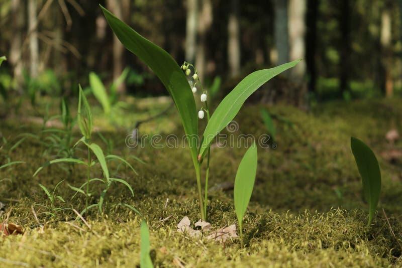 Eine Waldblume lizenzfreie stockfotos