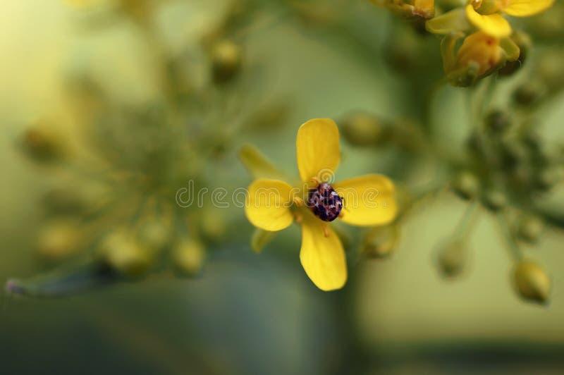 Eine Wanze gehaftet in einer kleinen gelben Blume stockfotos
