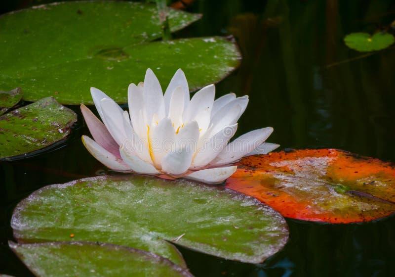 Eine weiße Blume mit den dichten Blumenblättern, die auf dem Wasser unter breiten Blättern der Seerosegrünfarbe heranwachsen stockfotos