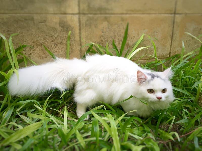 Eine weiße persische Katze stockbild