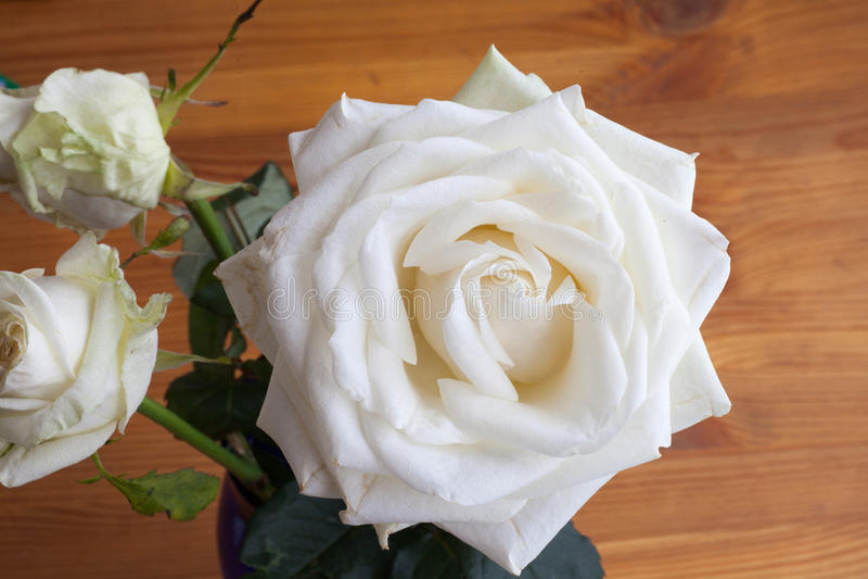 Eine weiße Rose stockfotos
