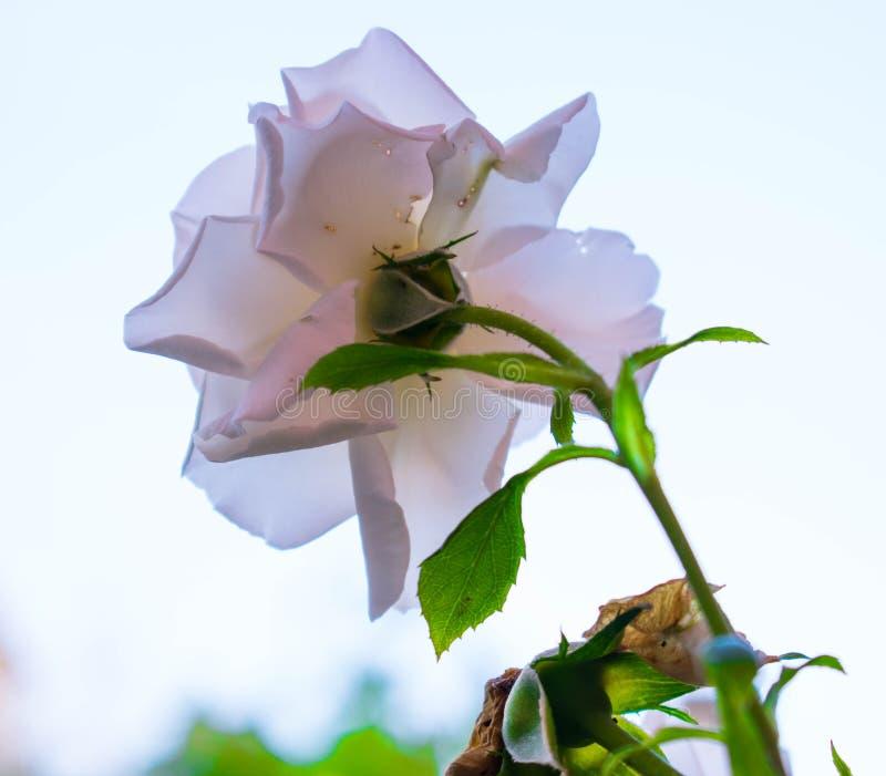 Eine weiße Rose lizenzfreie stockfotografie