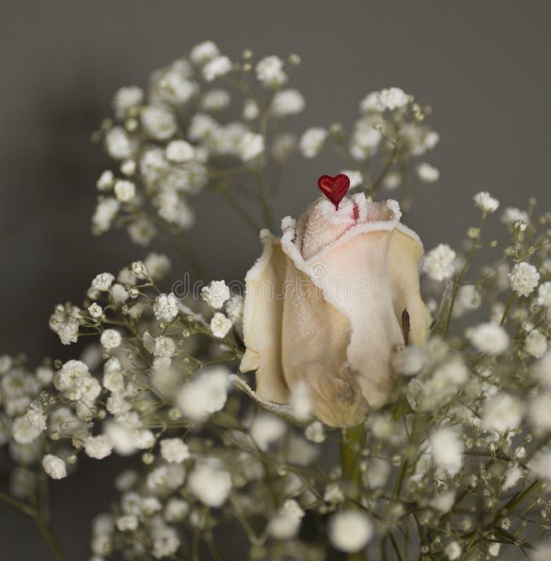 Eine weiße Rose mit rotem Herzen stockfotografie
