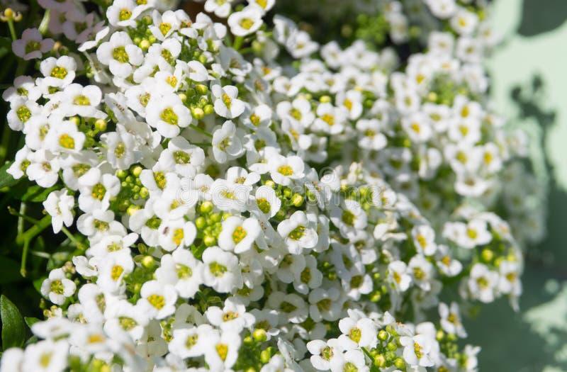Eine weiße süßer Alyssum Lobularia maritima Blume ist ein empfindlicher Teppich von kleinen Blumen in voller Blüte, in einer Früh stockbilder