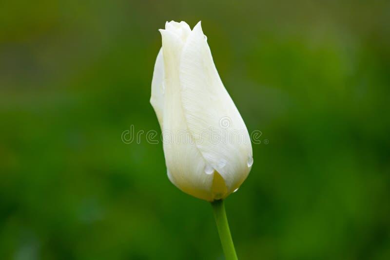 Eine weiße Tulpe auf einem grünen Hintergrund stockfotografie
