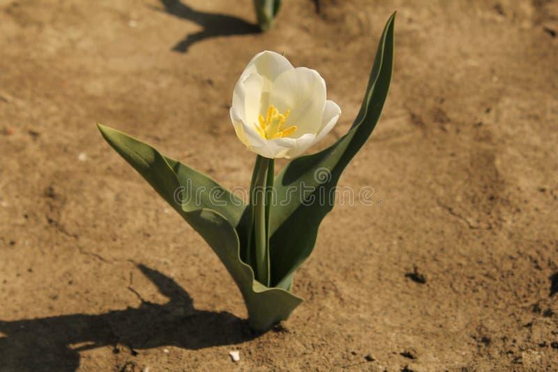 Eine weiße Tulpe, die auf den Birnengebieten in Holland im Frühjahr blüht lizenzfreie stockfotografie