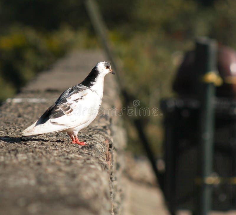 Eine wei?e Taube betrachtet eine Ebene lizenzfreies stockfoto