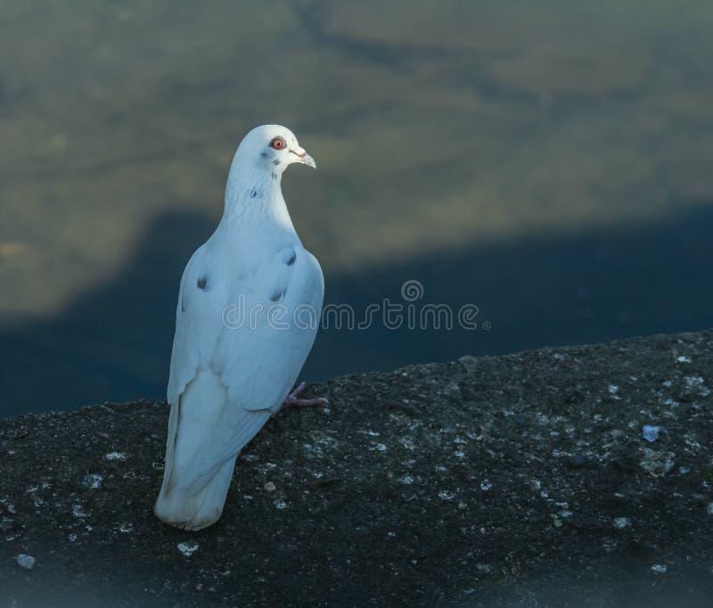Eine wei?e Taube betrachtet eine Ebene stockfotografie