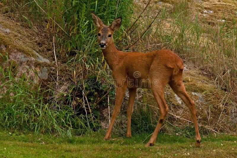Eine weibliche Roe Deer-Stellung nahe bei einer Felsenklippe, welche die Kamera betrachtet stockfoto