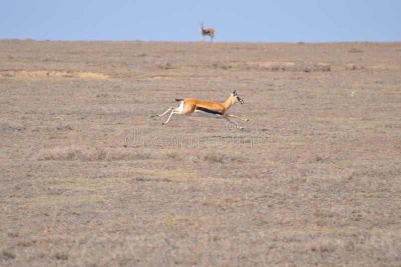 Eine weibliche Thomsons Gazelle (Eudorcas thomsoni) stockfotografie