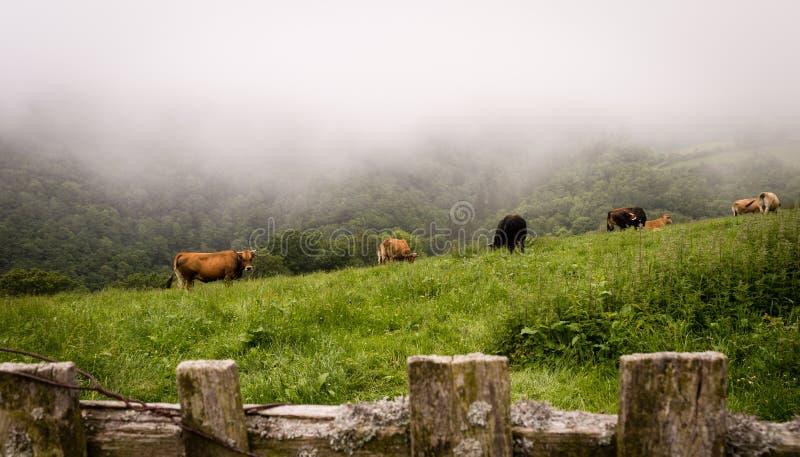 Eine weiden lassende Herde von Kühen am nebeligen Morgen auf einer Wiese lizenzfreie stockbilder