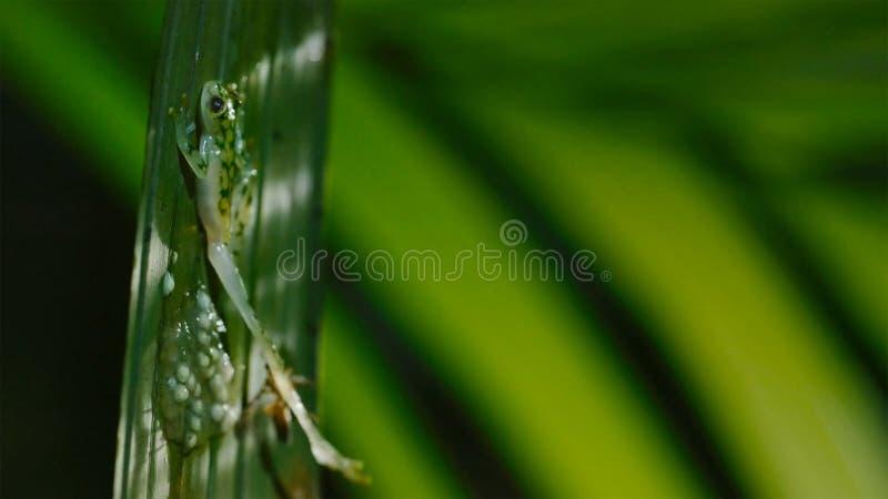 Eine Wespe, die Kaulquappen des Glasfrosches, die Eier des Glasfrosches in Angriff nimmt und isst lizenzfreie stockfotos
