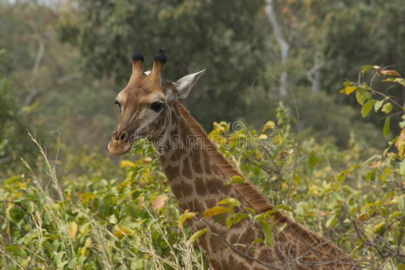 Eine wilde Giraffe in Senegal, Afrika stockbild