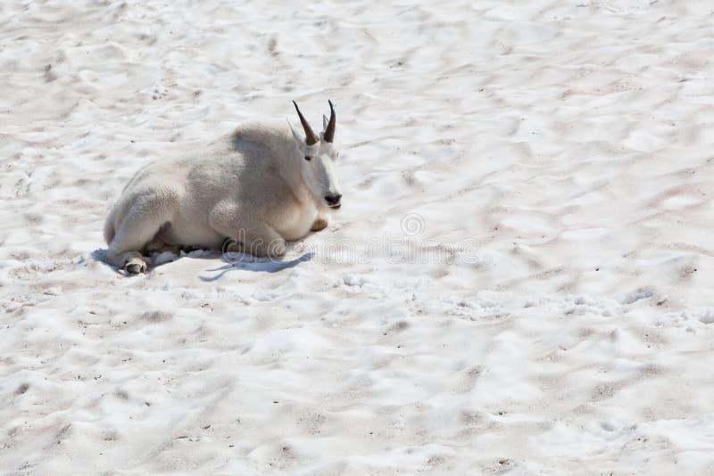 Weiße Gebirgsziege stockfotos