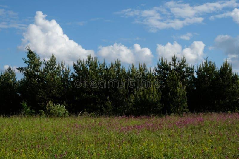 Eine wilde Wiese von purpurroten Blumen lizenzfreies stockfoto