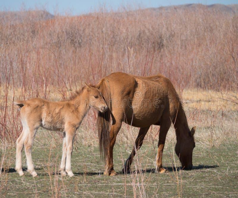 Eine wildes Wildleder farbige Stute und ihr Colt lizenzfreies stockbild