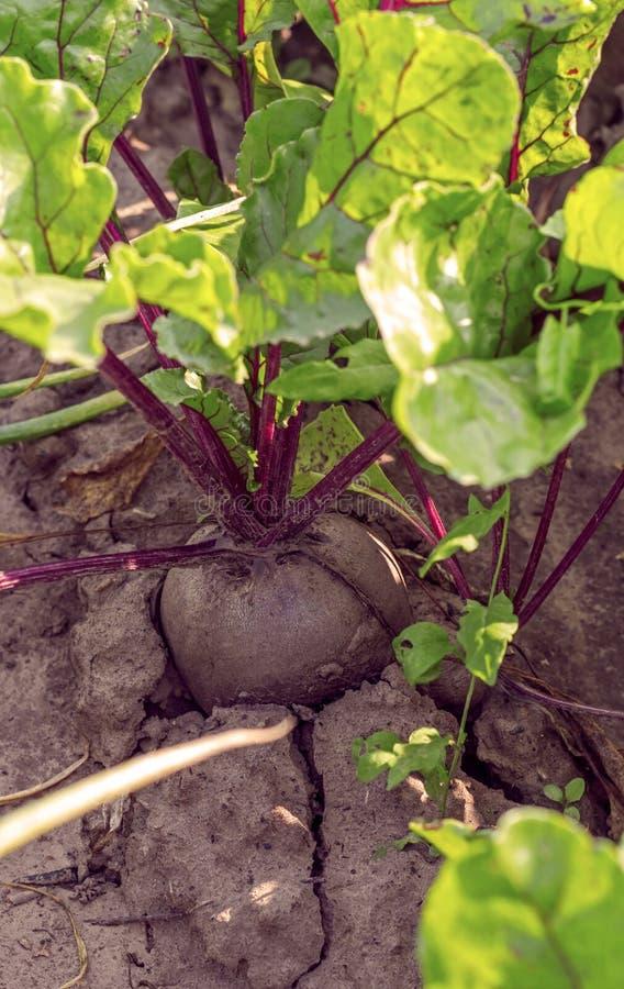 Eine Wurzel der roten roten Rübe wächst auf einem Gartenbett lizenzfreies stockbild