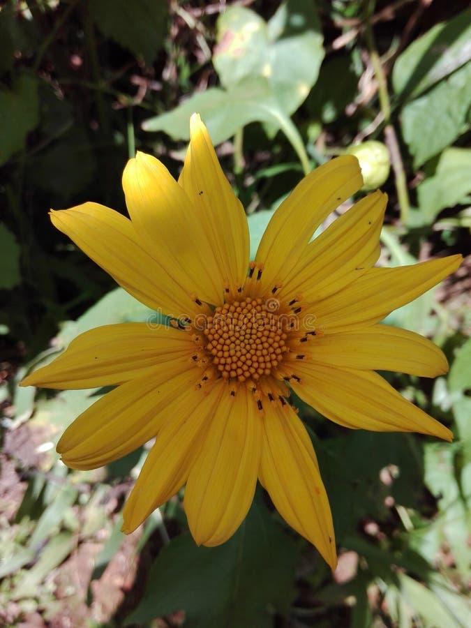 Eine zerzauste Blume der sehr schönen Blume stockfoto