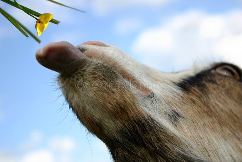 Eine Ziege: Es Ist Zeit Zu Essen! Stockbild
