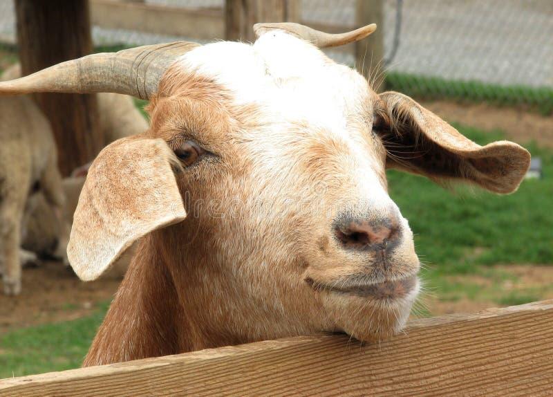 Eine Ziege schaut über einem Zaun lizenzfreie stockfotos