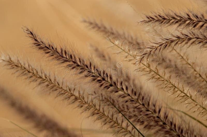 Eine Zusammenfassung von blühenden Gräsern der Wüste stockfotos