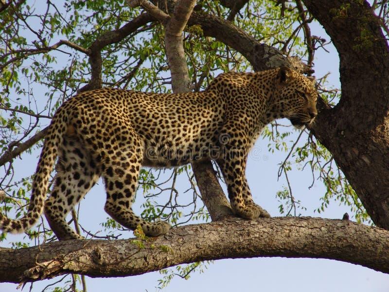 Einem Baum del auf del leopardo fotografía de archivo libre de regalías