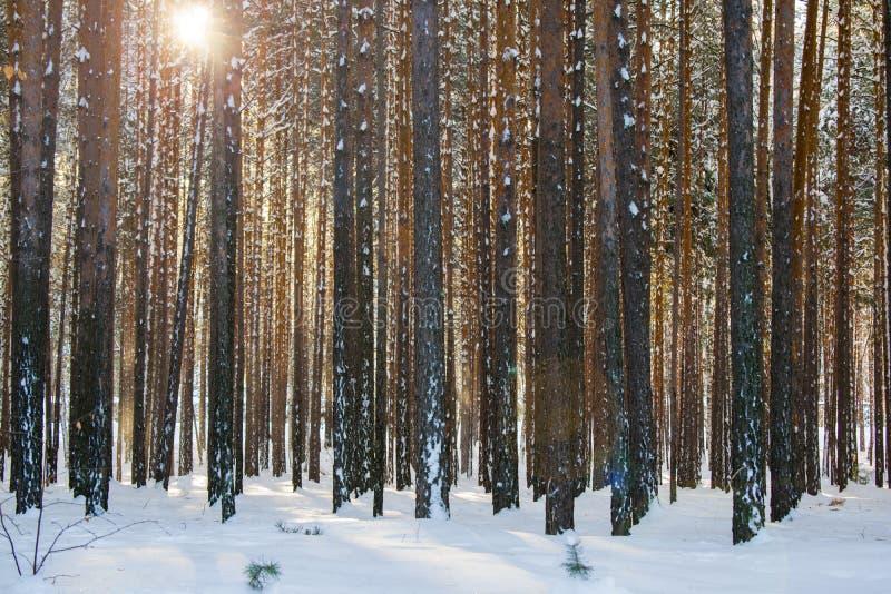 In einem Kiefernwald im Winter stockfotografie