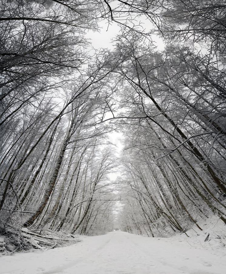 In einem Wald mit hohen Bäumen Die Ansicht von unten nach oben lizenzfreie stockfotos