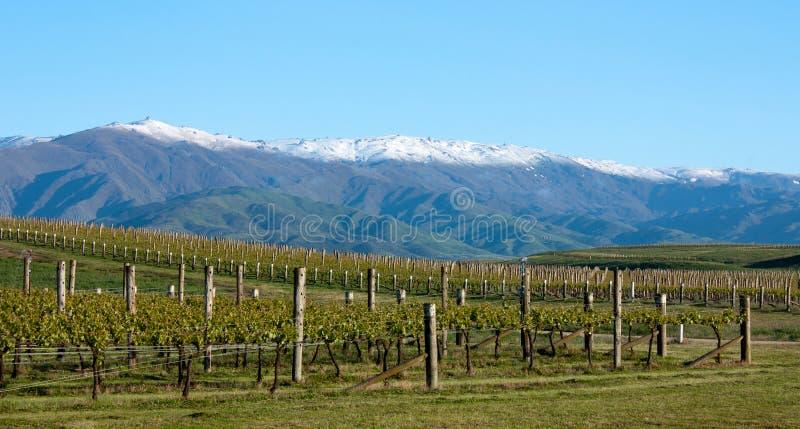 In einem Weinberg, der Berge nahe Clyde und Alexandra in der Südinsel in Neuseeland betrachtet stockbild