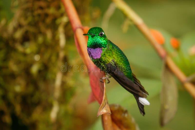 Einer der schönsten Kolibris, Purpurrot-bibbed Whitetip stockbild