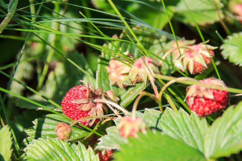 In einer Wanne und in den B?schen Nat?rliche Erdbeere Reifes rotes Walderdbeerefeld an einem sonnigen Tag lizenzfreies stockbild
