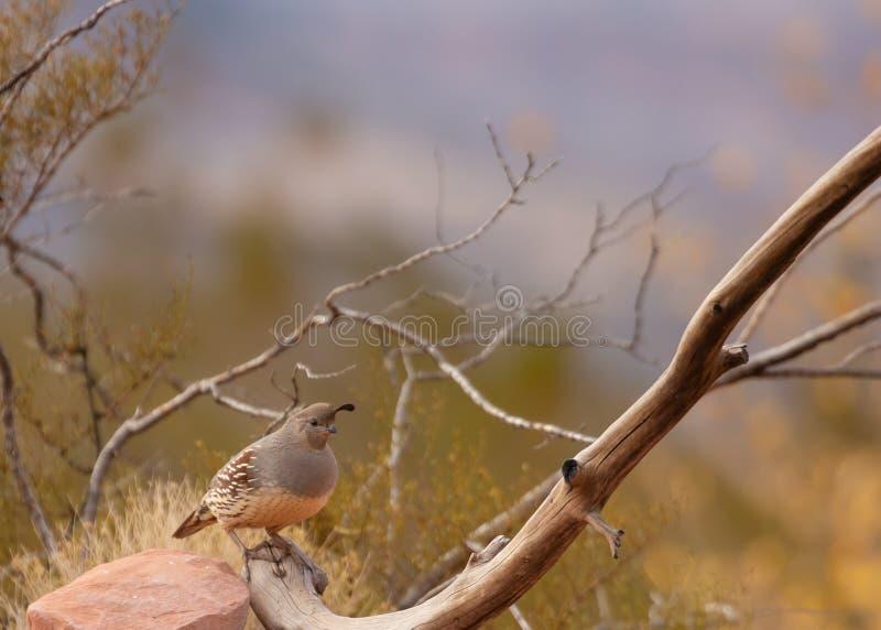 Eines weiblichen Gambels Wachtel steht am Ende einer bloßen Niederlassung mit Herbstlaub im Hintergrund lizenzfreies stockfoto