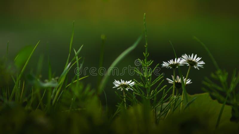 Einfache weiße Wildflowers auf dem Feld lizenzfreie stockbilder