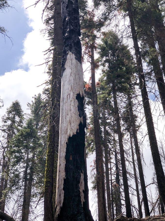 Einfacher Forest Portrait von Kiefern stockfoto
