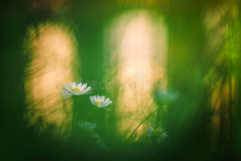 Einfacher weißer Wildflower mit Hintergrundbeleuchtung lizenzfreie stockfotografie