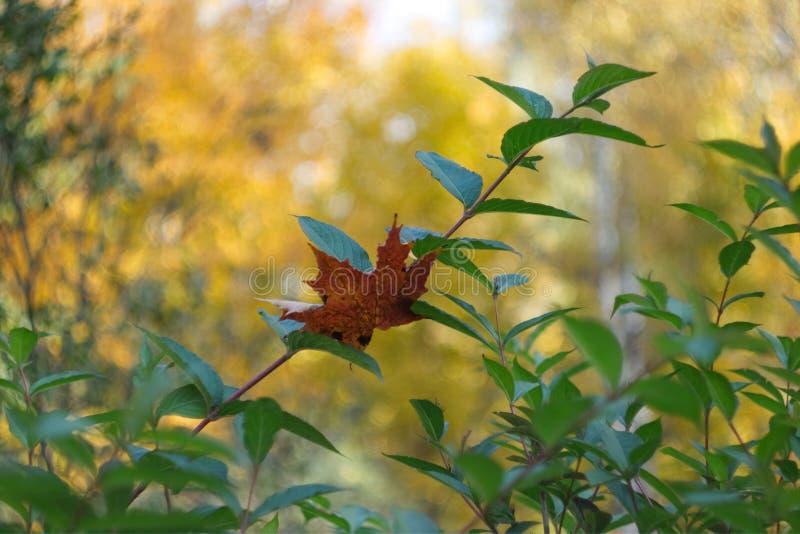 Einfaches Fotohintergrundmuster des toten Blattes auf dem grünen Busch b stockfoto