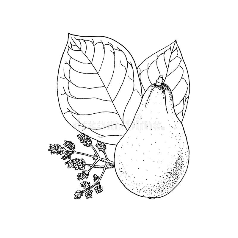 Einfarbige Vektorillustrationszeichnung von Avocado Persea Americana auf Weiß stock abbildung