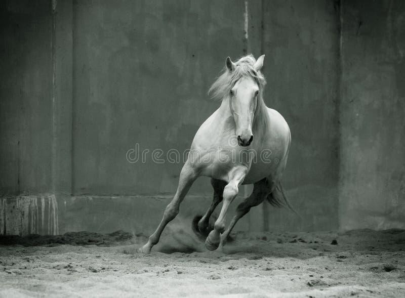 Einfarbiges Foto laufendes lusitano Pferd mit der geströmten Mähne an stockfotos
