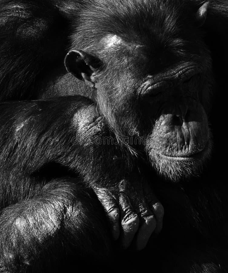 Einfarbiges Portr?t des Schimpansen lizenzfreie stockbilder