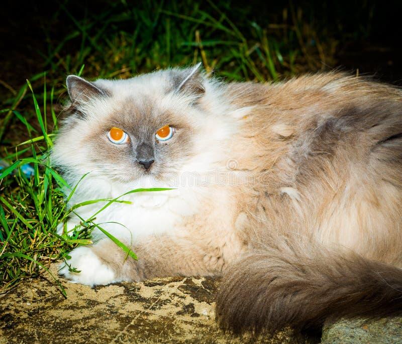 Eingelassene Nacht der Katze Porträt stockfoto