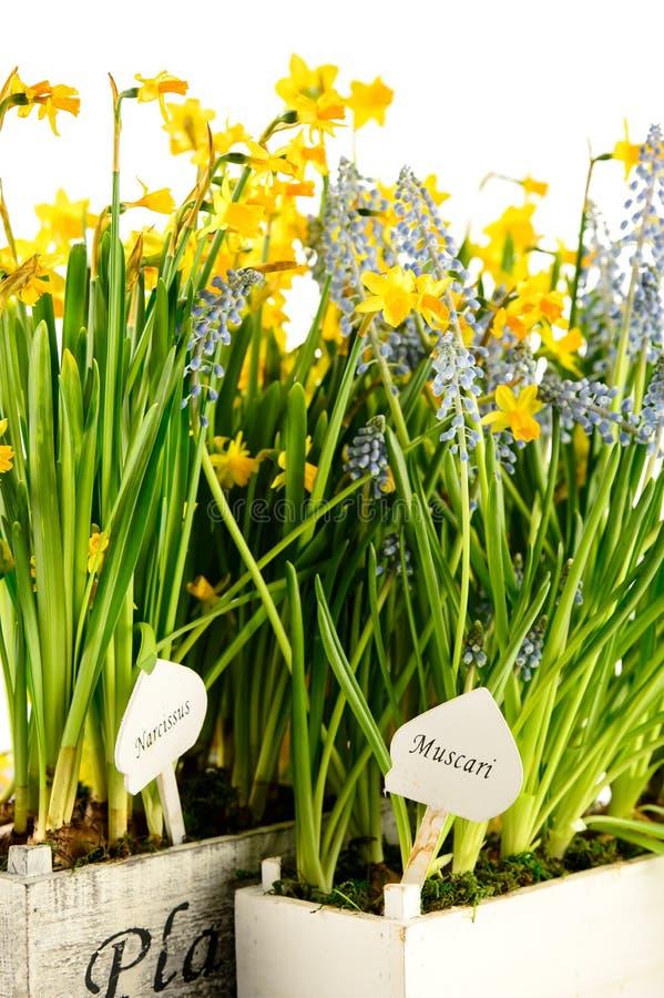 Eingemachte Blume des Muscari und des Narzissenfrühlinges lizenzfreies stockfoto